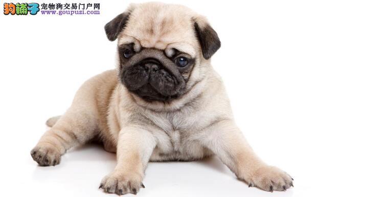 巴哥犬患有皮肤病后使用哪些药物才是最理想的