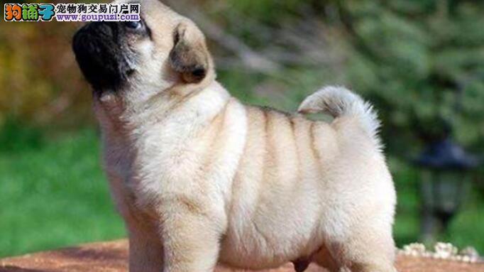 如何从小训练巴哥犬,可以进行的基本训练有哪些
