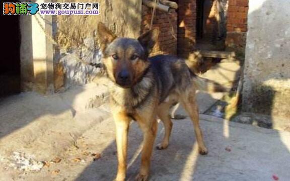 不是只有宠物狗才被人疼,中华田园犬也是很受欢迎的