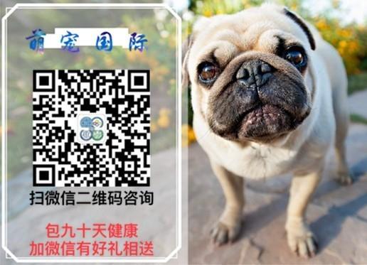 郑州犬舍低价热销 拉布拉多血统纯正签订三包合同