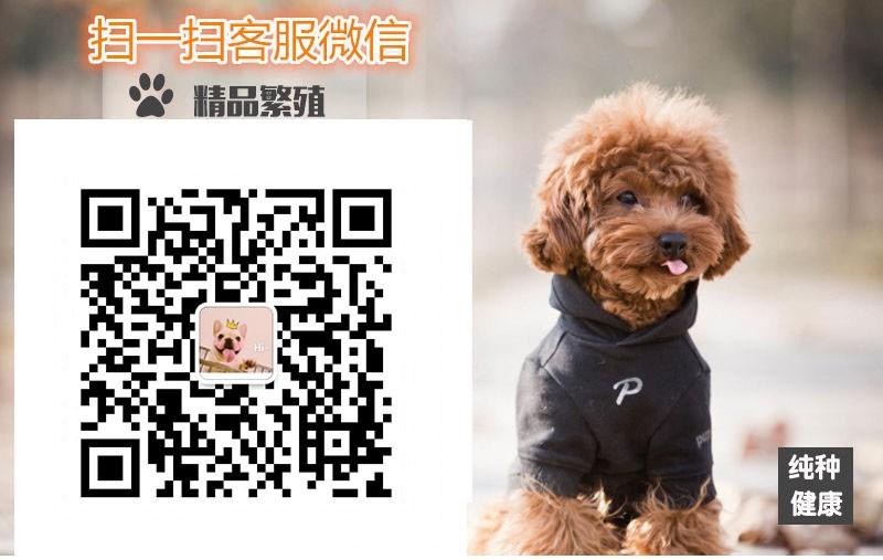 家养极品可卡出售 可见父母颜色齐全微信咨询看狗狗视频5
