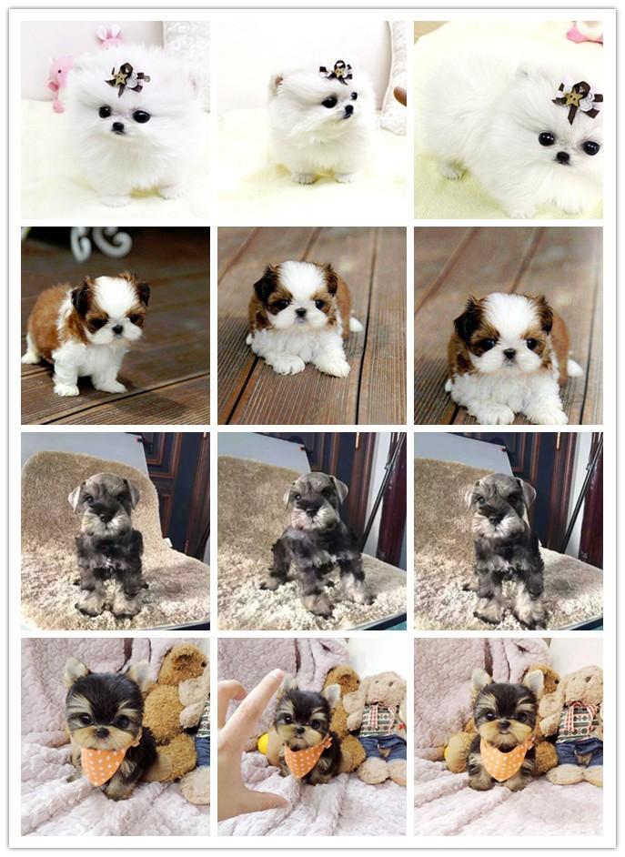 家养极品可卡出售 可见父母颜色齐全微信咨询看狗狗视频6