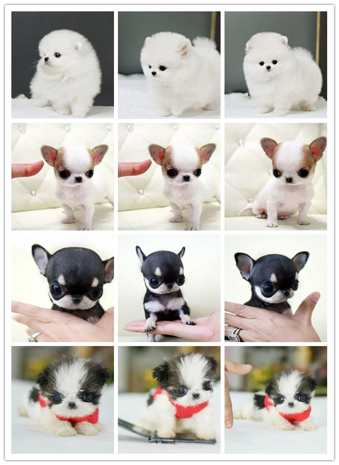 家养极品可卡出售 可见父母颜色齐全微信咨询看狗狗视频8