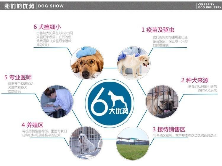 CKU犬舍认证出售纯种美国斗牛犬期待您的来电咨询