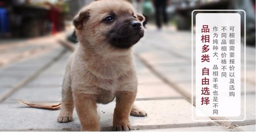精品纯种泰迪犬出售质量三包价格特优惠哦6