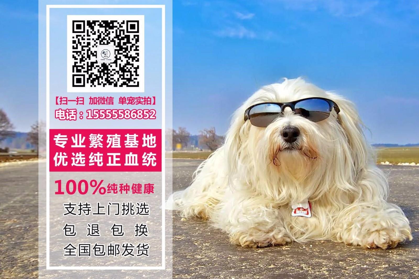 顶级优秀韩系拉萨泰迪犬低价转让中 外地可空运已驱虫5