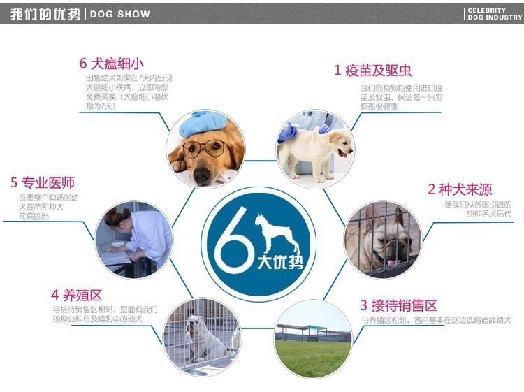 重庆出售可爱健康的博美犬喜欢的来 公母全部都有7