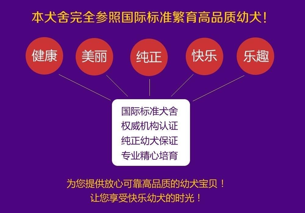 重庆出售可爱健康的博美犬喜欢的来 公母全部都有8