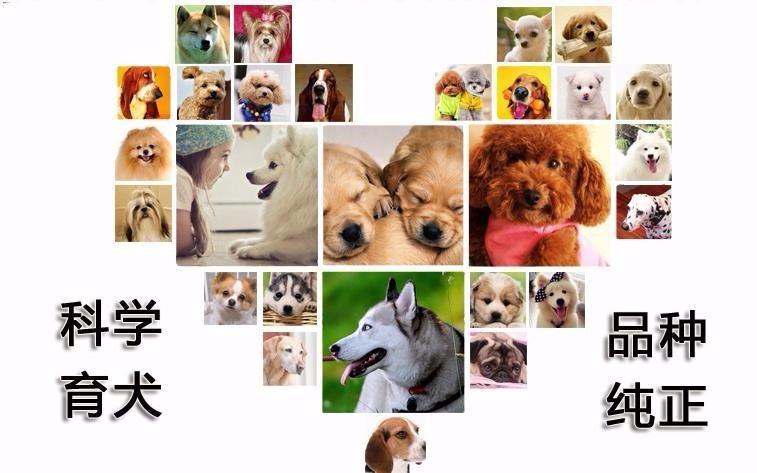 专业繁殖出售杜高.加纳利.比特等各种猛犬。7