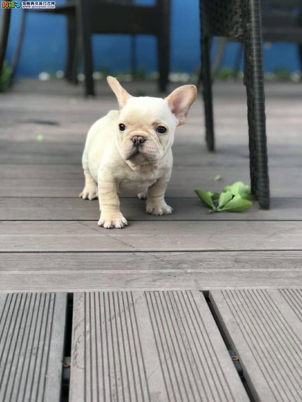 法国斗牛犬出售 各种颜色 国外引进种犬 带证书1