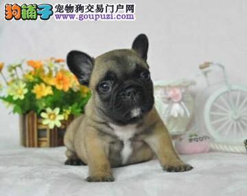 法国斗牛犬出售 各种颜色 国外引进种犬 带证书3