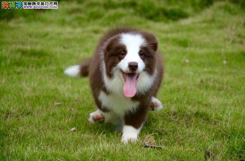 边境纯种牧羊犬养殖基地 出售纯种赛级健康边境幼犬3