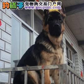 德国牧羊犬繁殖基地 长期出售纯种大头德牧幼犬3