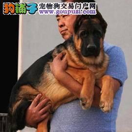 德国牧羊犬繁殖基地 长期出售纯种大头德牧幼犬1