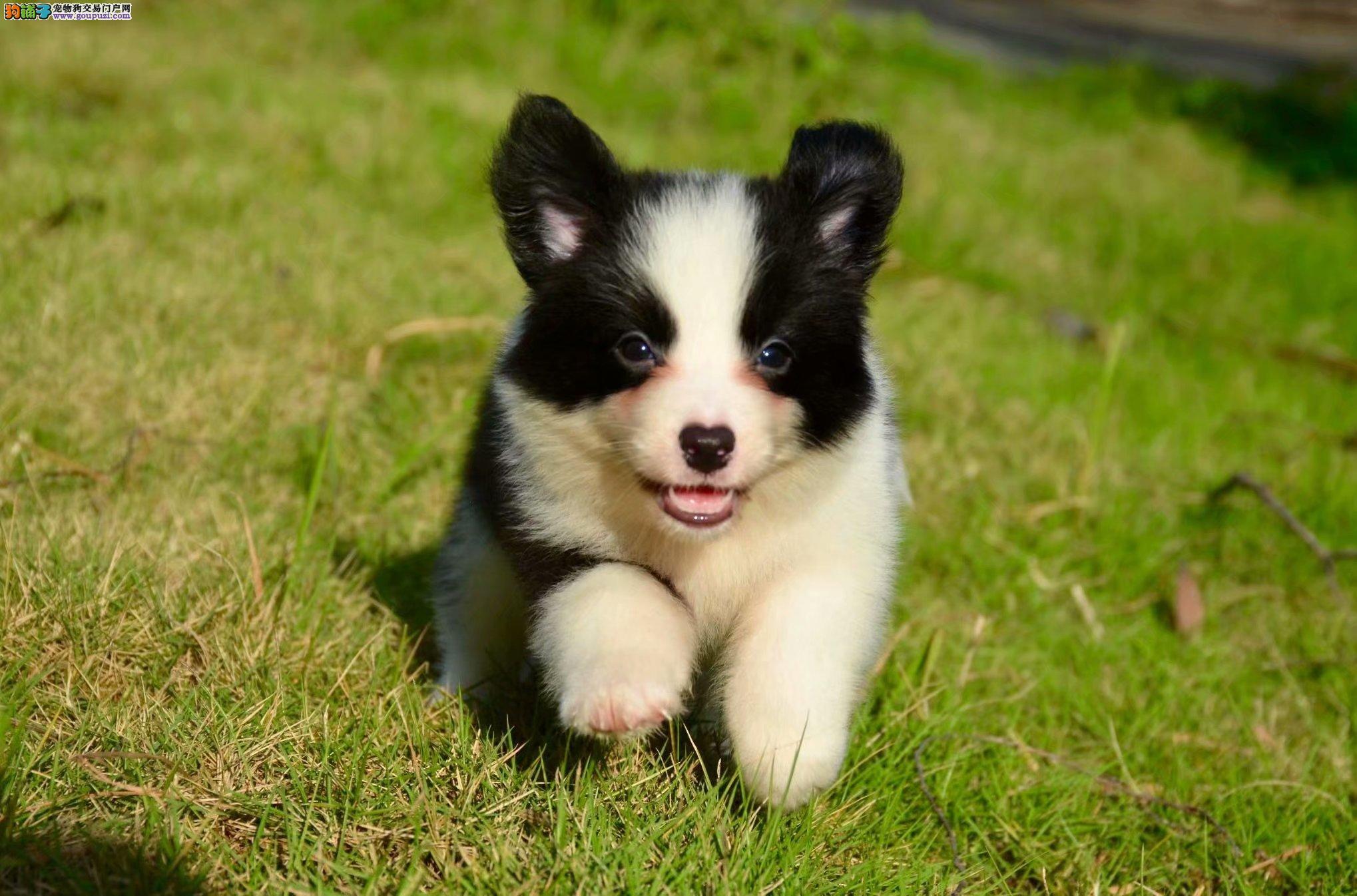 边境纯种牧羊犬养殖基地 出售纯种赛级健康边境幼犬4