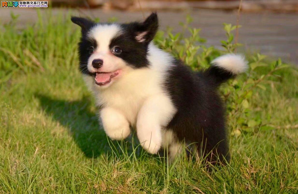 边境纯种牧羊犬养殖基地 出售纯种赛级健康边境幼犬1