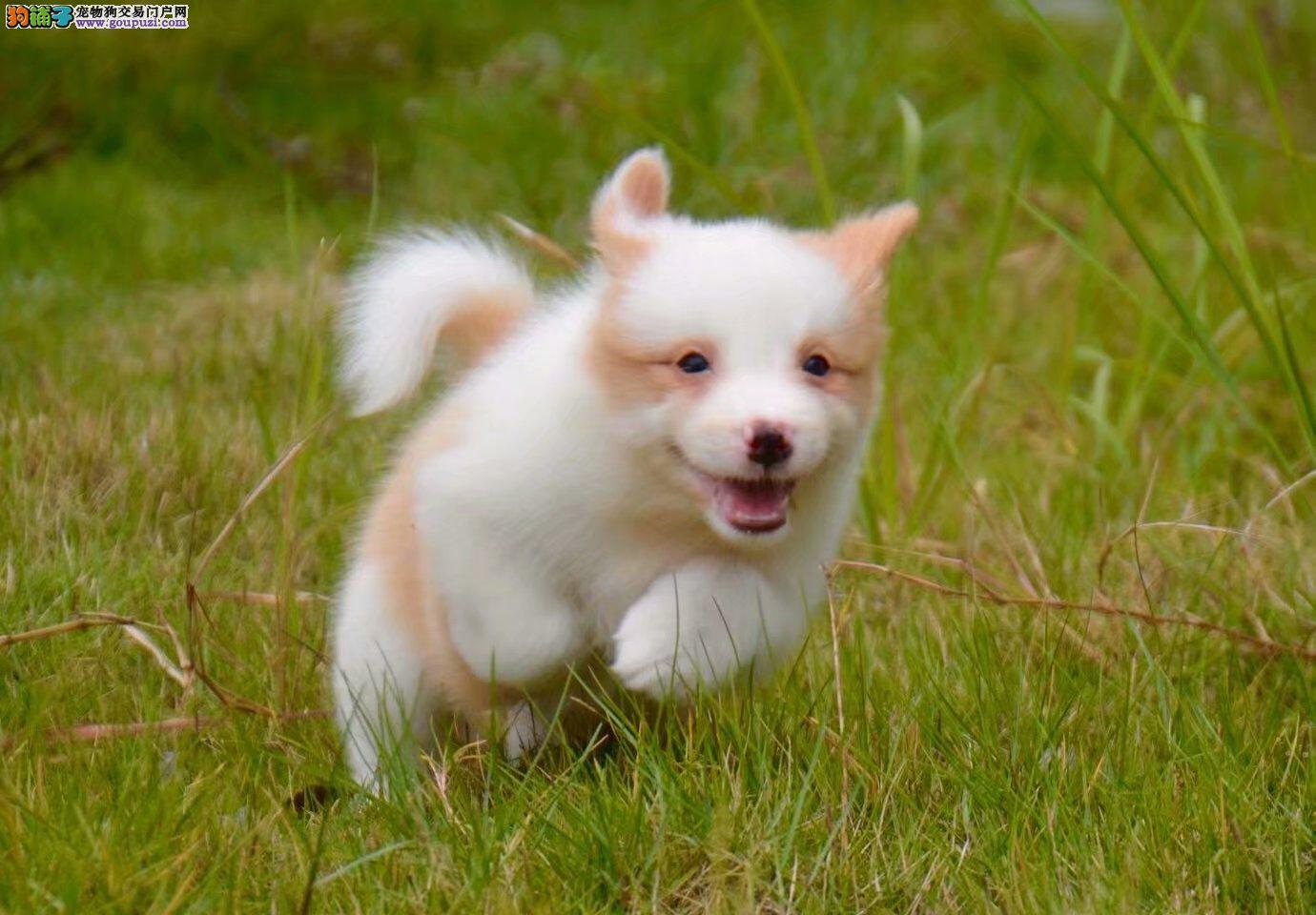 边境纯种牧羊犬养殖基地 出售纯种赛级健康边境幼犬2