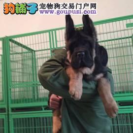 德国牧羊犬繁殖基地 长期出售纯种大头德牧幼犬2