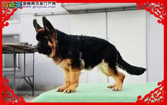 锤系超大头版德国牧羊犬 黑神瓦尔特等名犬血系2