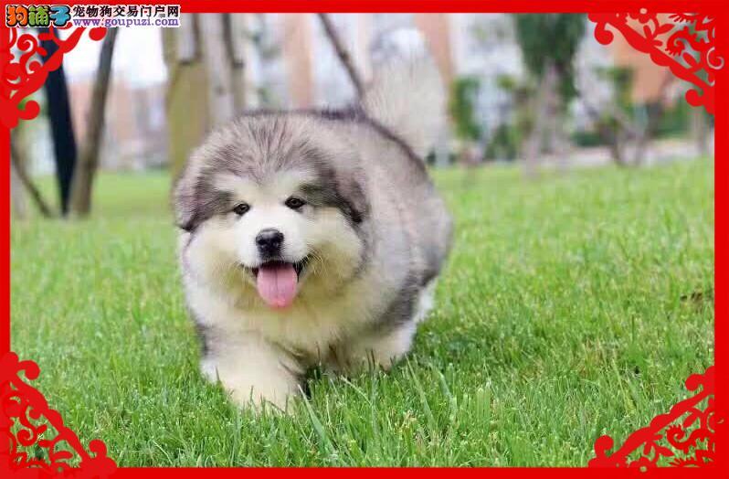 阿拉斯加犬、可视频送货、包活可体检 签协议公母齐全3