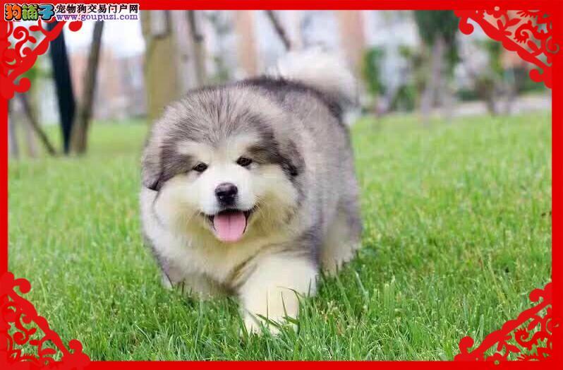 阿拉斯加犬、可视频送货、包活可体检 签协议公母齐全1