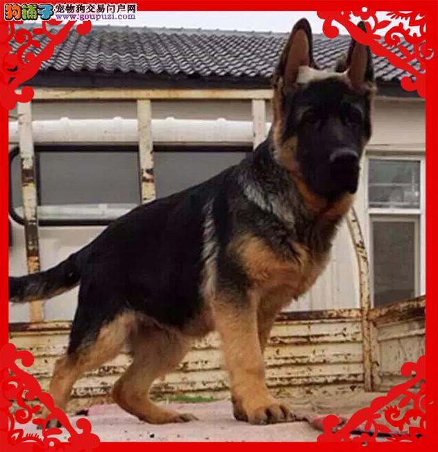 锤系超大头版德国牧羊犬 黑神瓦尔特等名犬血系4