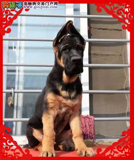 锤系超大头版德国牧羊犬 黑神瓦尔特等名犬血系3