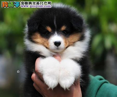 正规犬舍繁殖 赛级品质 纯种喜乐蒂幼犬出售