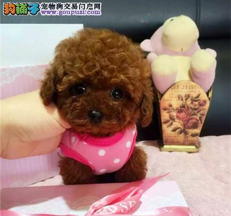 经典小泰迪 北京地区可免费送货上门 欢迎来看狗