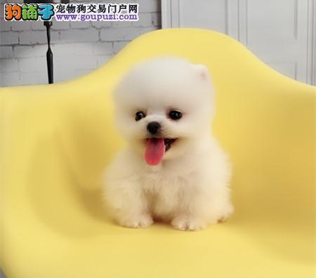 正规犬舍繁殖 赛级品质 纯种俊介幼犬出售