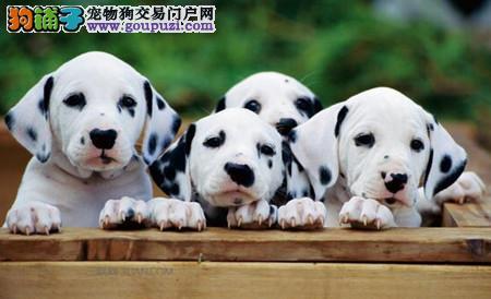 正规犬舍繁殖 赛级品质 纯种斑点幼犬出售