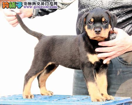 正规犬舍繁殖 赛级品质 纯种罗威纳幼犬出售1