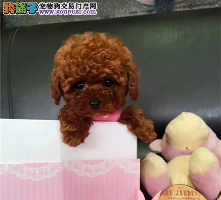 经典小泰迪 北京地区可免费送货上门 欢迎来看狗3