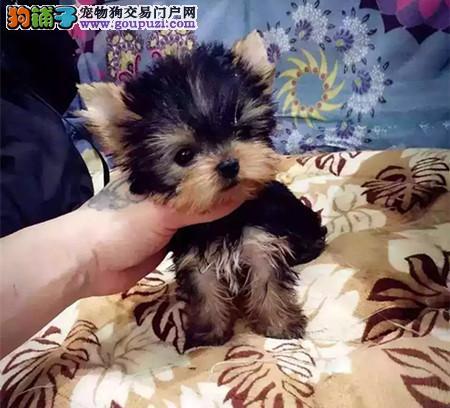 正规犬舍繁殖 赛级品质 纯种约克夏幼犬出售