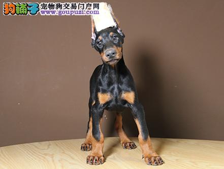 正规犬舍繁殖 赛级品质 纯种杜宾幼犬出售