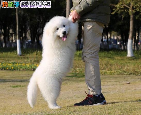 正规犬舍繁殖 赛级品质 纯种大白熊幼犬出售