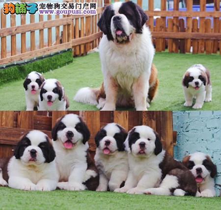 正规犬舍繁殖 赛级品质 纯种圣伯纳幼犬出售