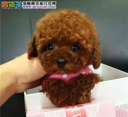 经典小泰迪 北京地区可免费送货上门 欢迎来看狗2