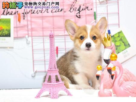 正规犬舍繁殖 赛级品质 纯种柯基幼犬出售