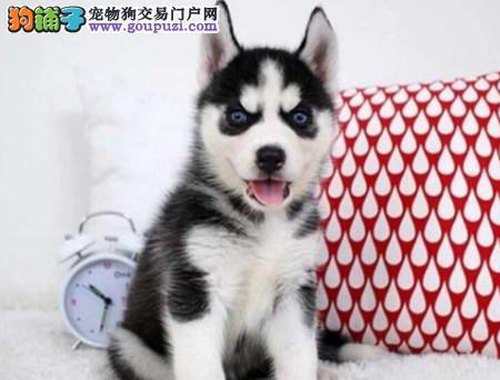 正规犬舍繁殖 赛级品质 纯种哈士奇幼犬出售