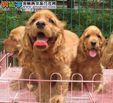 正规犬舍繁殖 赛级品质 纯种可卡幼犬出售