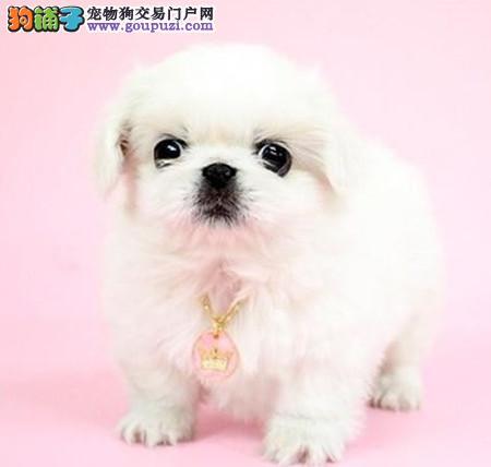 正规犬舍繁殖 赛级品质 纯种京巴幼犬出售