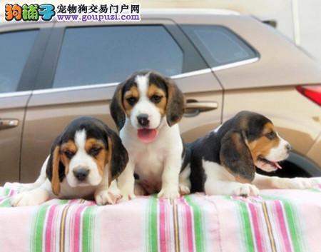 正规犬舍繁殖 赛级品质 纯种米格鲁比格幼犬出售3