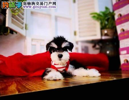 正规犬舍繁殖 赛级品质 纯种雪纳瑞幼犬出售