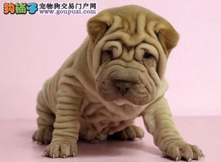 正规犬舍繁殖 赛级品质 纯种沙皮幼犬出售