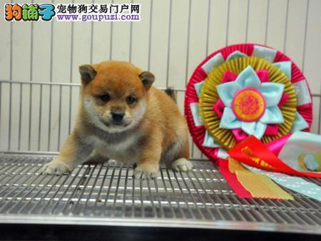 正规犬舍繁殖 赛级品质 纯种柴犬幼犬出售