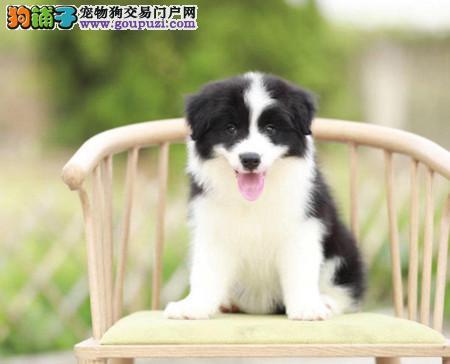 正规犬舍繁殖 赛级品质 纯种边境牧羊犬幼犬出售