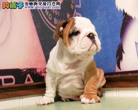 正规犬舍繁殖 赛级品质 纯种英国斗牛犬幼犬出售2