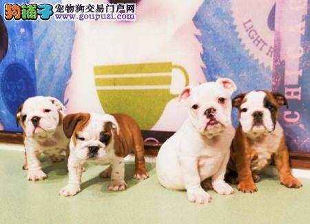 正规犬舍繁殖 赛级品质 纯种英国斗牛犬幼犬出售3