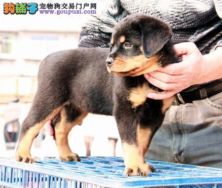 正规犬舍繁殖 赛级品质 纯种罗威纳幼犬出售3